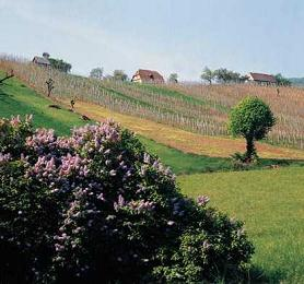 Croatian wineyard next to Zagreb